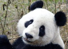 Натуралисту Жану-Пьеру Арману Давиду в Китае подарили шкуру ранее неизвестного европейцам животного — панды