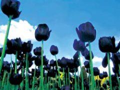 В голландском Харлеме пышно отметили рождение черного тюльпана