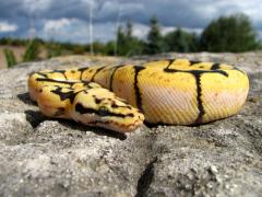 День Скипера Змея (Змеиный день)